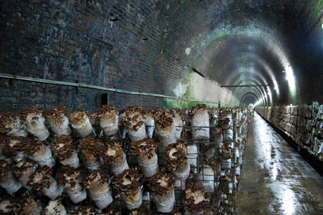 82 Shitake logs on racks in tunnels