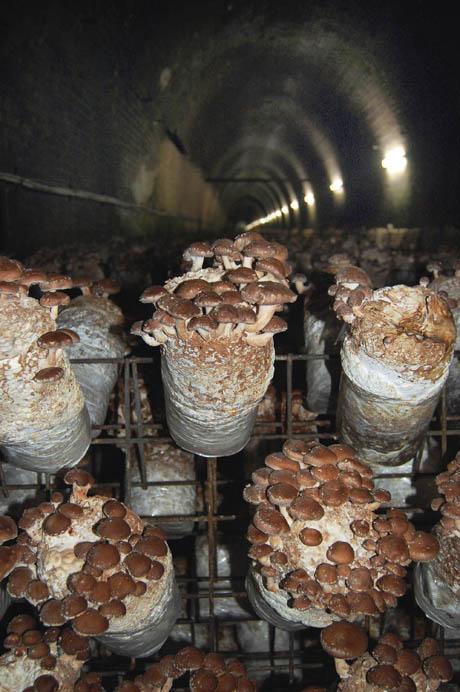 88 Shitake mushroom logs on racks