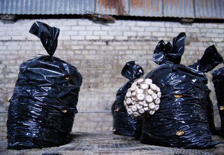 99 Shimeji mushroom bags