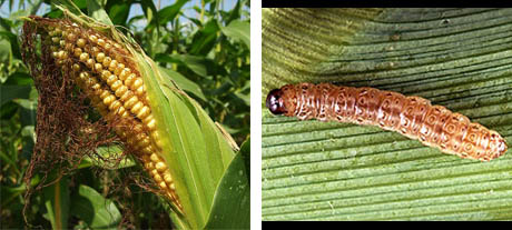 Corn and corn borer pest