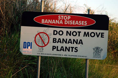 Do not move banana plants 460