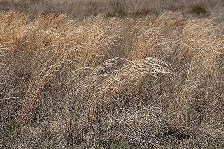 Prairie_grass 460