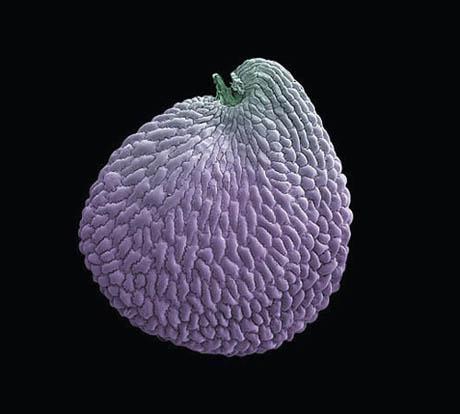 Seed of Franklin's sandwort
