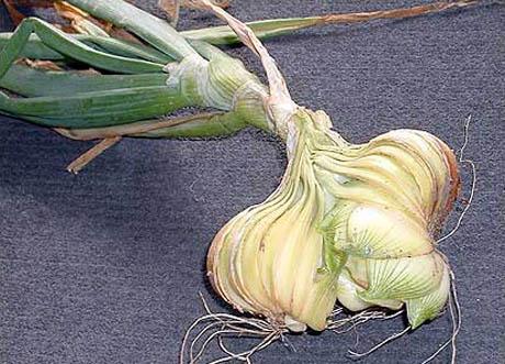 Ugly Onion