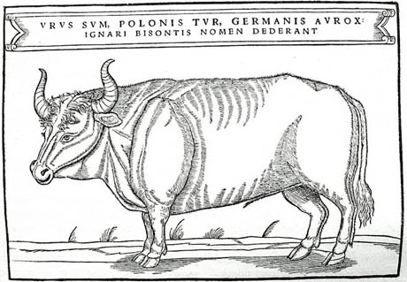 Aurochs illustration 460