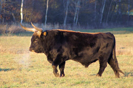 Heck_cattle_male 460