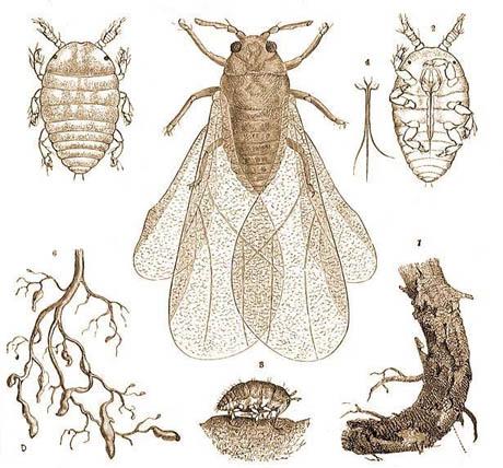 phylloxera-vastatrix-460