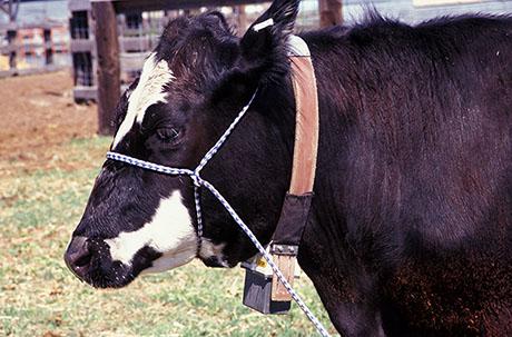 ARS Dave Ganskopp Cow with GPS collar 460