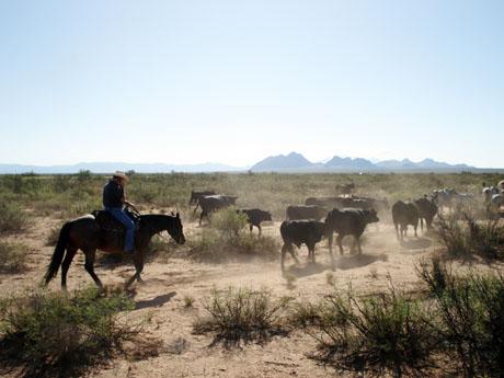 Herding cattle NMSU 460