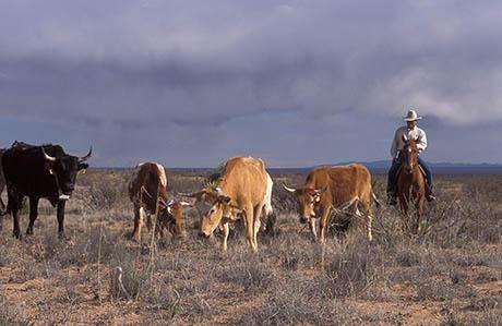 Herding on La Jornada Peggy Greb 460