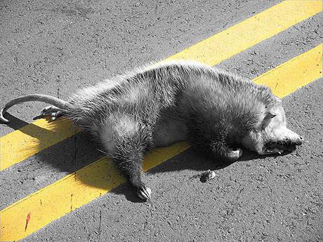 Dead Opossum 460