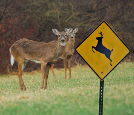 Deer and deer crossing sign 460