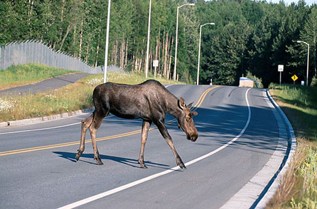 Moose crossing a road 460