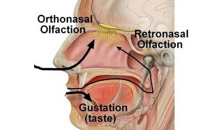 Ortho and retronasal olfaction
