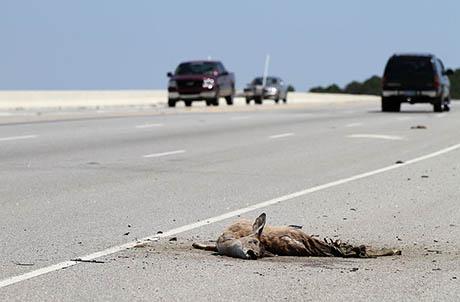 Roadkill deer 460