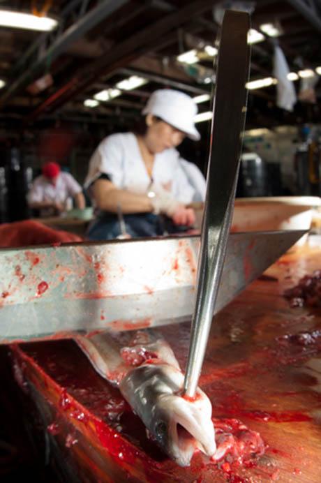 Eel slaughter NG 460