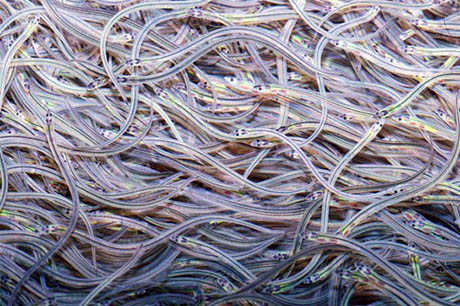 Glass Eels 460