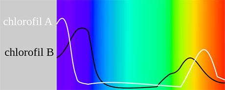 Chlorophyll light spectrum 460