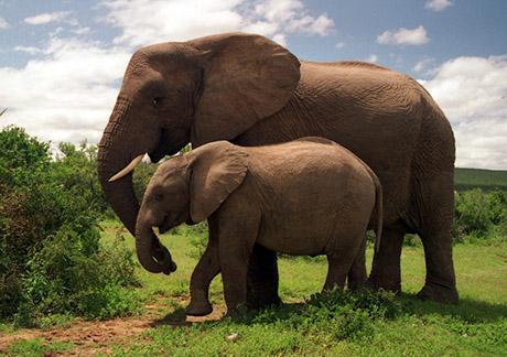 Elephant 460